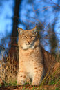 Portrait of eurasian lynx in forest czech republic Royalty Free Stock Photography