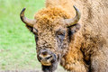 Portrait of the european bison bonasus also known as wisent or wood Stock Photo