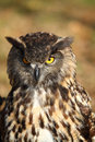 Portrait of a European Eagle Owl Royalty Free Stock Images