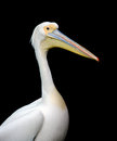 Portrait of a european white pelican isolated on black background Royalty Free Stock Photography