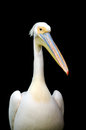 Portrait of a european white pelican isolated on black background Royalty Free Stock Images