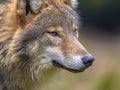 Portrait of European Wolf Royalty Free Stock Photo