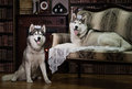 Portrait family husky dog Royalty Free Stock Photo