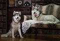 Portrait family husky dog Royalty Free Stock Photo