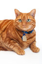 Portrait of a fat orange tabby cat an overweight wearing blue collar and tags shot in the studio isolated on white background Stock Photos