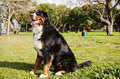 Portrait female berner sennenhund dog sitting grass park sunny day Stock Image