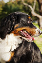 Portrait female berner sennenhund dog sitting grass park sunny day Royalty Free Stock Photo
