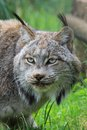 Portrait female canadian lynx Stock Photography
