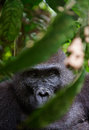 Portrait of a female of the western lowland gorilla close up at short distance democratic republic Stock Photography