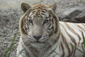 A portrait of female white bengal tiger Stock Images