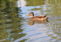 Portrait of a females of duck on the water Royalty Free Stock Image