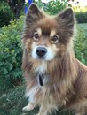 Finnish lapphund Royalty Free Stock Photo