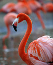 Portrait of a flamingo. Stock Photography