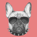 Portrait of French Bulldog with collar and sunglasses.