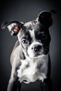 Portrait french bulldog puppy Royalty Free Stock Photography