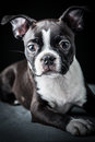 Portrait french bulldog puppy Stock Images