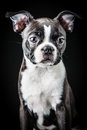 Portrait french bulldog puppy Royalty Free Stock Images