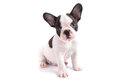 Portrait of french bulldog puppy over white background Stock Photos