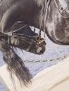 Portrait of frisian horse closeup Royalty Free Stock Photo