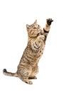 Portrait of a frisky playful cat Scottish Straight Royalty Free Stock Photo