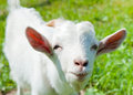 Portrait of a funny goat Royalty Free Stock Photo