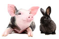 Portrait of a funny little pig and cute black rabbit