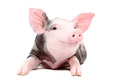 Portrait of the funny little pig isolated on white background Royalty Free Stock Photography