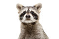 Portrait of a funny raccoon Royalty Free Stock Photo