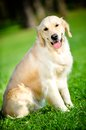 Portrait of funny retriever sitting on the green grass golden in park Stock Photos