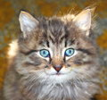 Portrait of a furry kitten with blue eyes Royalty Free Stock Images