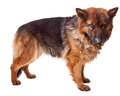 Portrait german sheperd long fur white Royalty Free Stock Photography