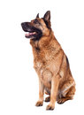Portrait german sheperd white background Stock Images