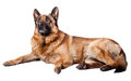 Portrait german sheperd white background Royalty Free Stock Photography