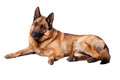 Portrait of german sheperd on white background Royalty Free Stock Photo