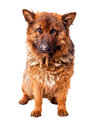 Portrait of german sheperd on white background Royalty Free Stock Photography