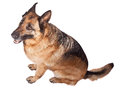 Portrait of german sheperd on white background Royalty Free Stock Image
