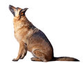 Portrait of german sheperd on white background Stock Photo