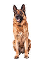 Portrait of german sheperd on white background Stock Image