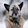 Portrait of a German Shepherd with black ears Royalty Free Stock Photo