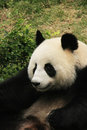 Portrait of giant panda bear Royalty Free Stock Photo