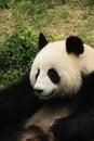 Portrait of giant panda bear Royalty Free Stock Photo