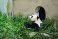 Portrait of a Giant Panda Bear Royalty Free Stock Photo