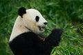 Portrait of Giant Panda Royalty Free Stock Photo