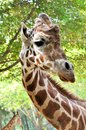 Portrait of a giraffe Royalty Free Stock Image