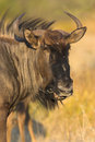 Portrait of a gnu Stock Photography