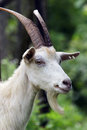 Portrait of a goat close up white with big horns and beard on the background green foliage Stock Photography