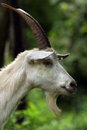 Portrait of a goat close up white with big horns and beard on the background green foliage Stock Images