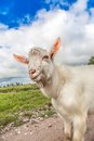 Portrait of a goat eating a grass on a green meadow funny looking to camera over blue sky background focus the nose Royalty Free Stock Images