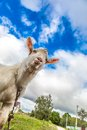 Portrait of a goat eating a grass on a green meadow funny looking to camera over blue sky background focus the nose Royalty Free Stock Photos