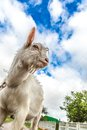 Portrait of a goat eating a grass on a green meadow funny looking to camera over blue sky background focus the nose Stock Photo